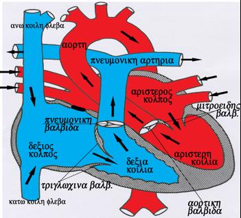 Φυσιολογική Καρδιά